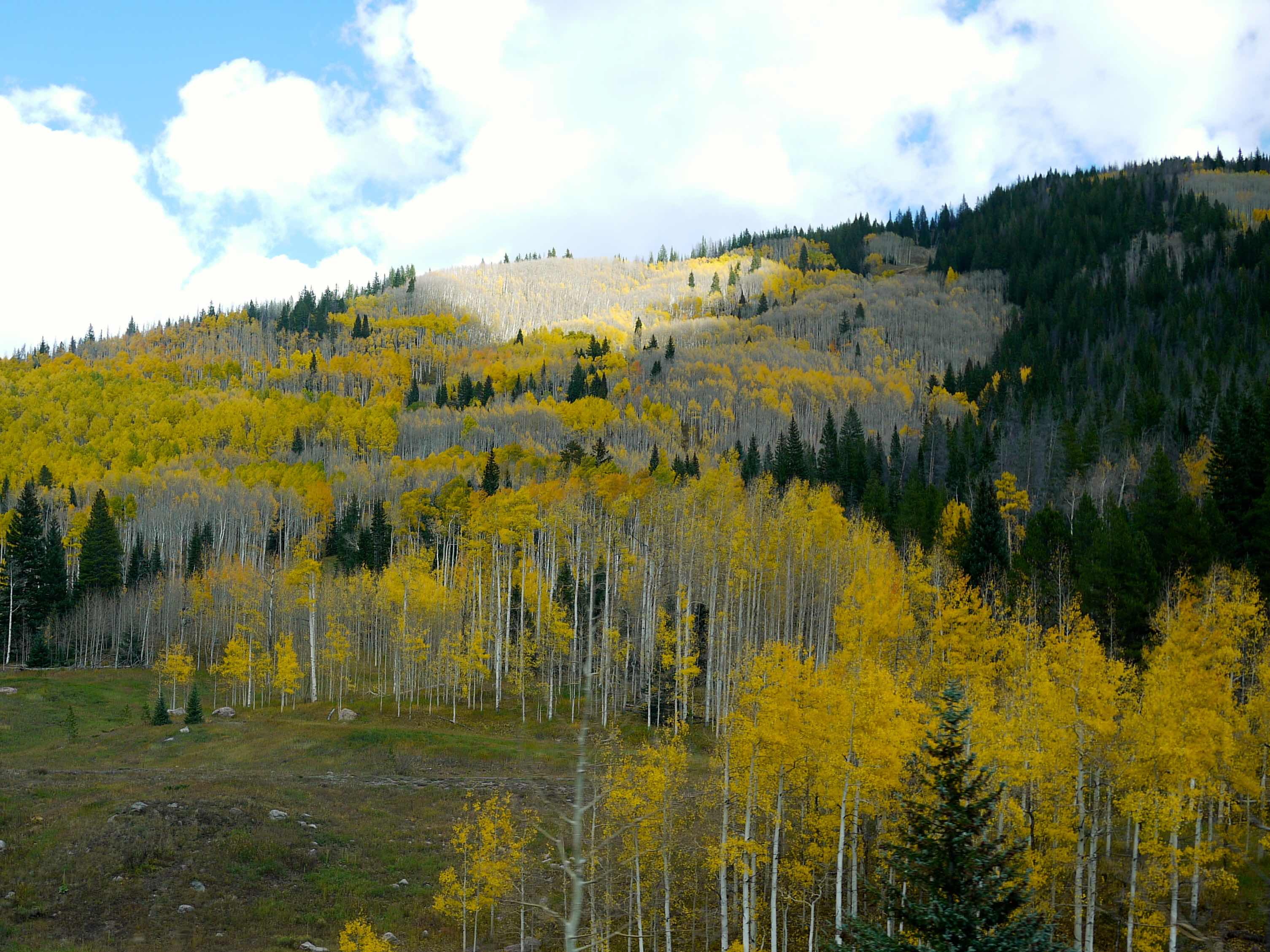 Yellow trees in Colorado